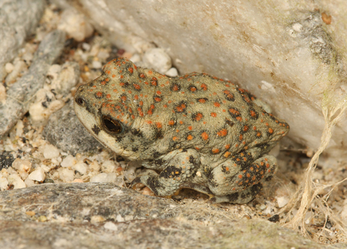 2011_10_Deep_Canyon_toad