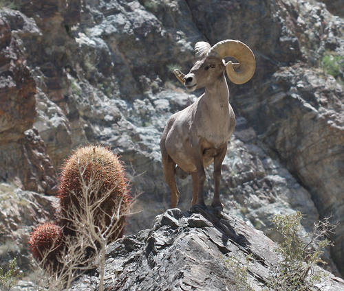 2011_6_Deep_Canyon_bighorn_sheep