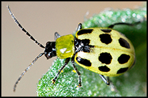 Spotted Cucumber Beetles