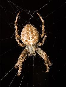 Common synanthropic spiders in California \u2013 Essig Museum of