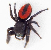 Common synanthropic spiders in California – Essig Museum of