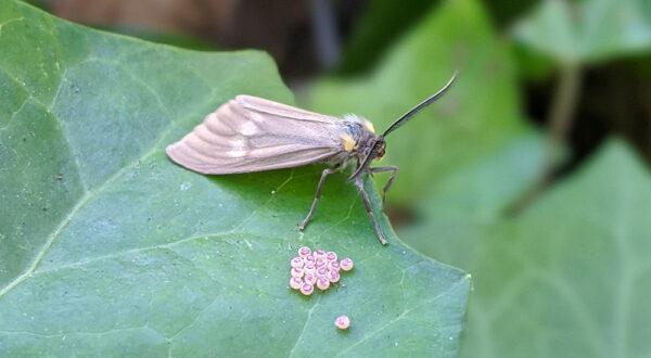 California Oak Moth