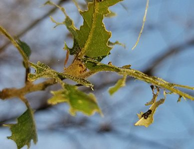 Oak moths return to Cal campus