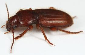 Wanted: Golden Bear Harpaline Beetles