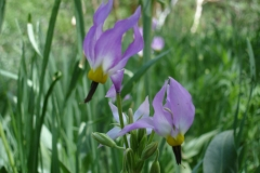 2010_Inyo_MTS_20-Bog shooting star, Dodecatheon redolens