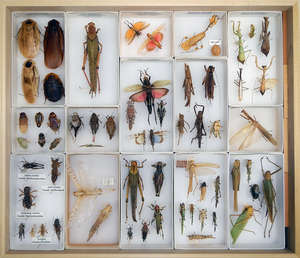Roaches, grasshoppers, crickets, and mantids