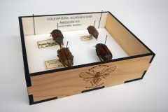 Cockchafer beetles