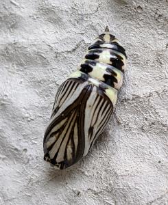 Phryganidia pupa