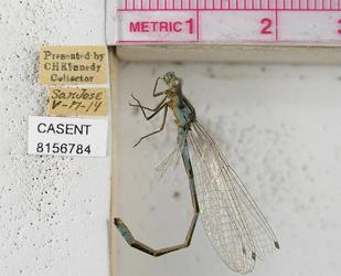 CASENT8156784 Enallagma carunculatum